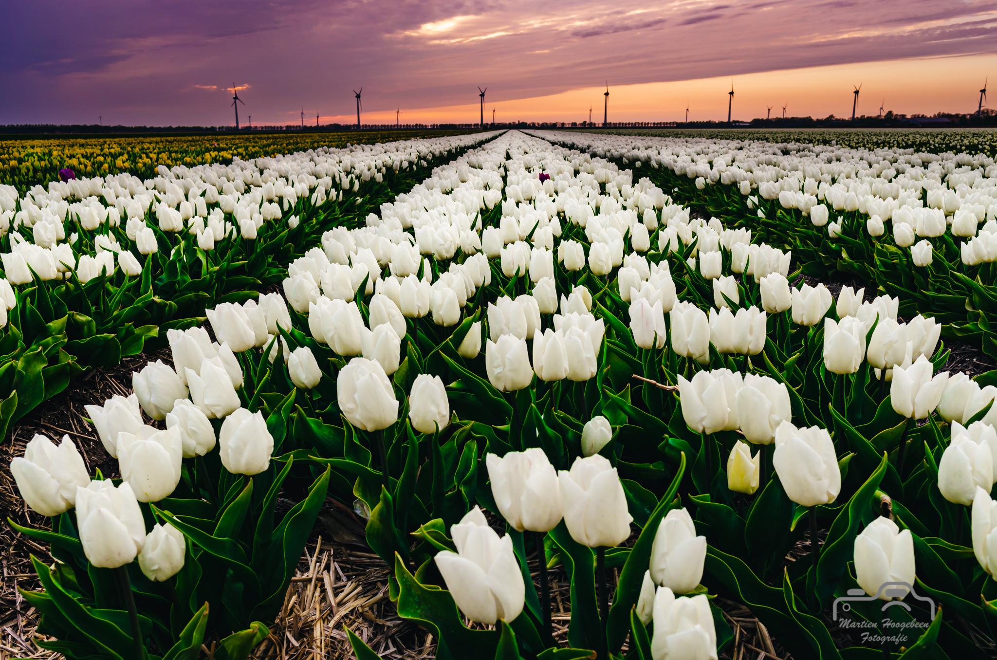 Tulpen in het gelid