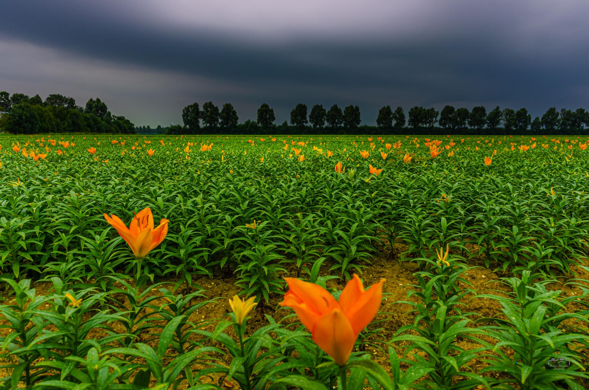 Lelies in zwaar weer