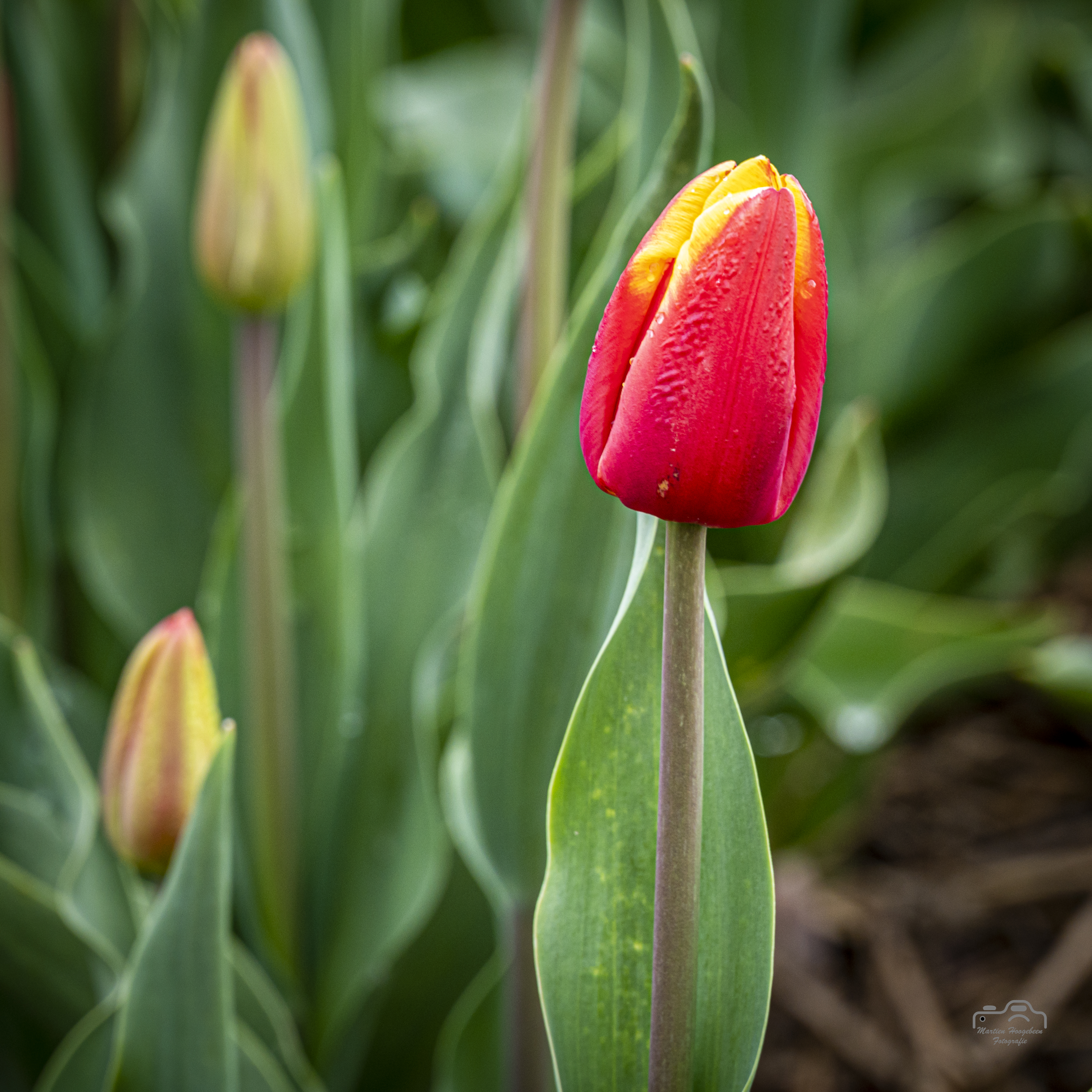 Tulpen Noordoostpolder